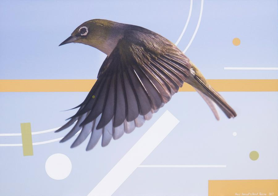 Waxeye in flight- a variation (Swish) 2017 sml.jpg